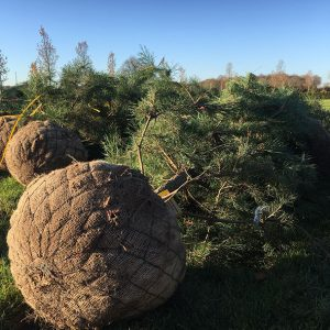 Planting Mature Trees